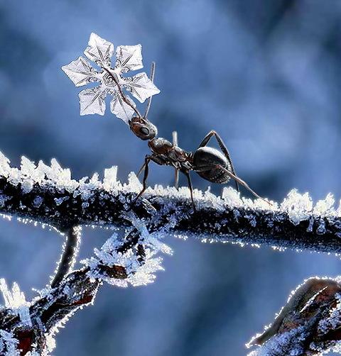 [Image: 76155_snowflake-ant-584.jpg]